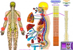 Organ&Muscle